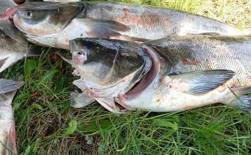 Запорожский рыбпатруль зафиксировал массовую гибель рыбы возле плотины ДнепроГЭС